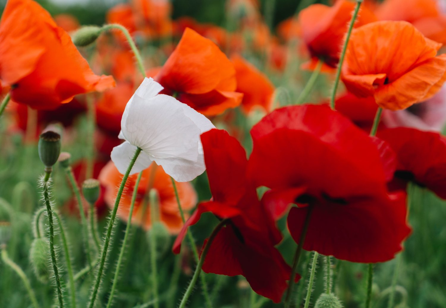 Remembrance Day Poppies The Political History Of A Symbol